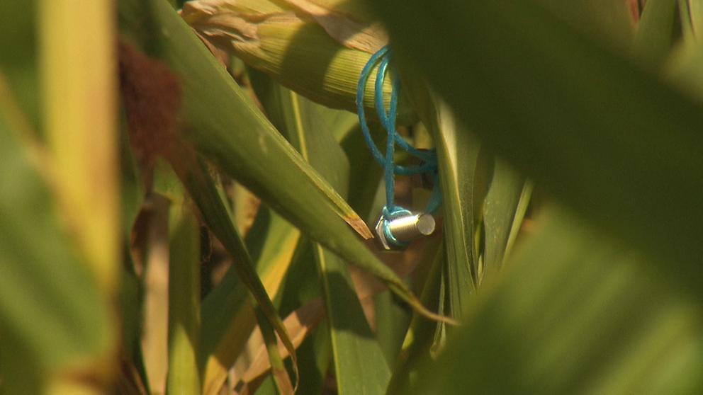 Aufgehängte Schraube im Maisfeld | Bild:BR