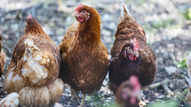 Symbolbild: Hühner-Freilandhaltung unter Pappeln.