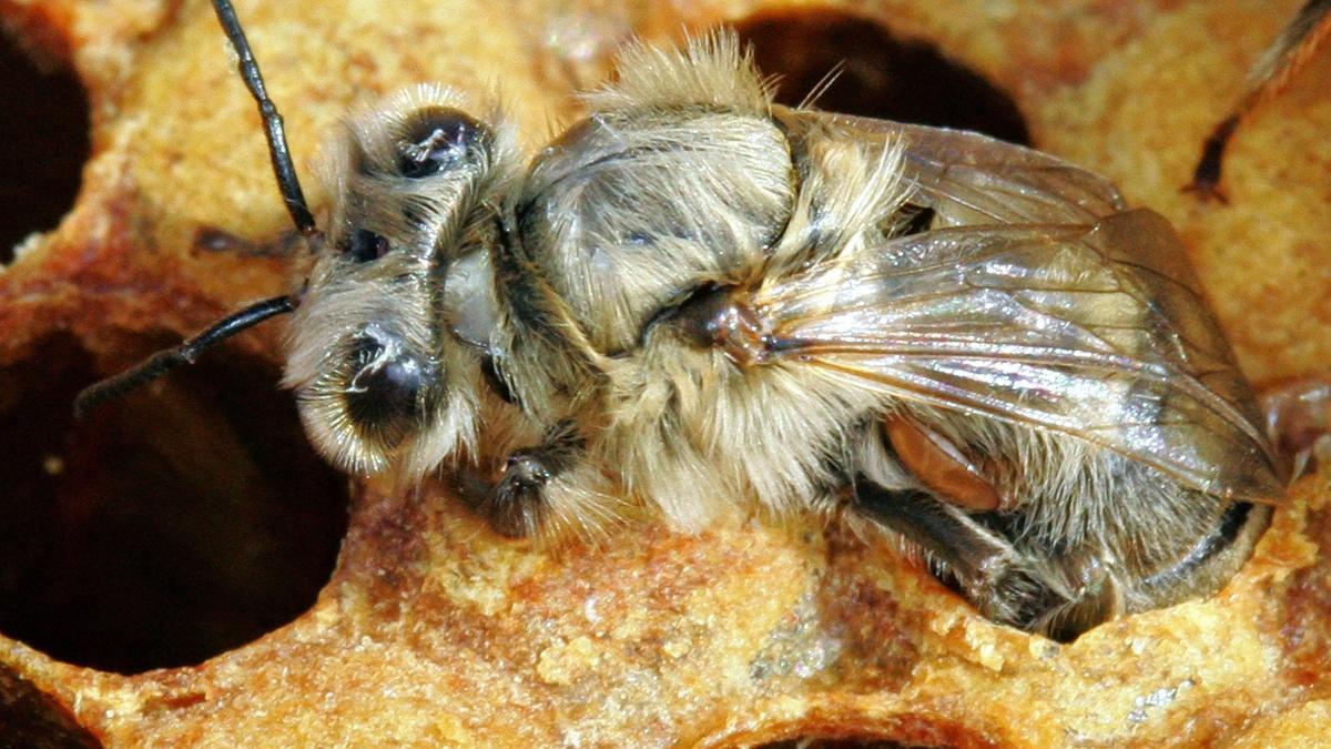 Honigbiene mit einer Varroa-Milbe an der Unterseite des Hinterteils