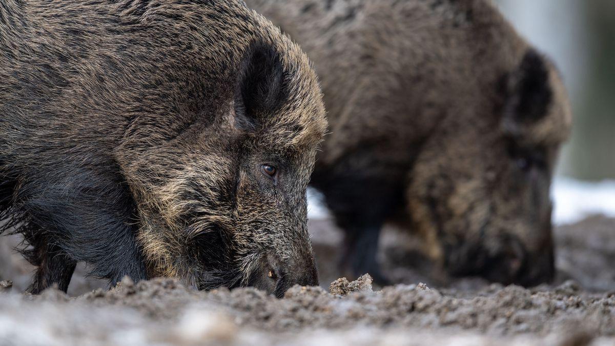 Wildschweine (Symbolbild)