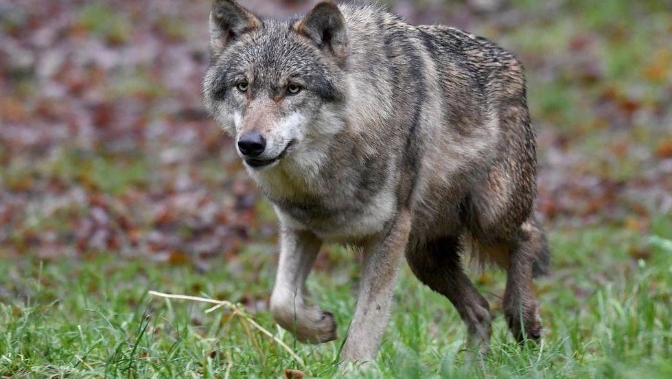 Symbolbild: Wolf auf einer Wiese