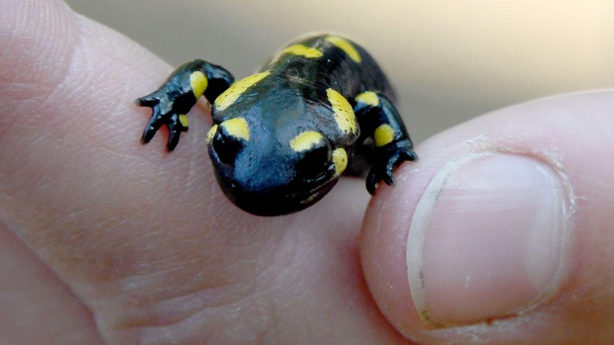 Junger Salamander in einer Hand