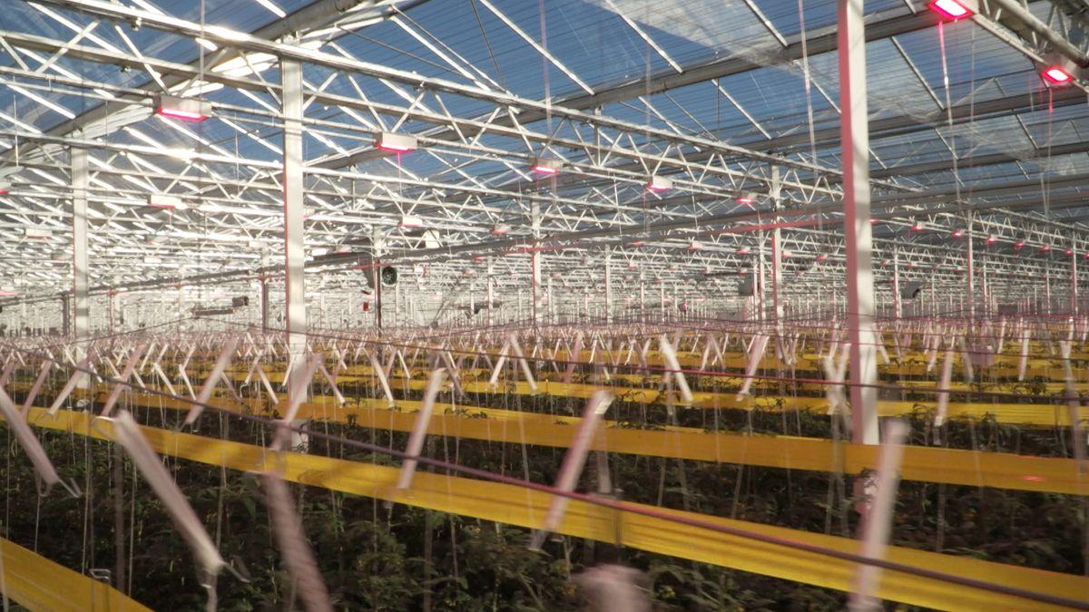 Konstruktion für die LED-Beleuchtung im Gewächshaus