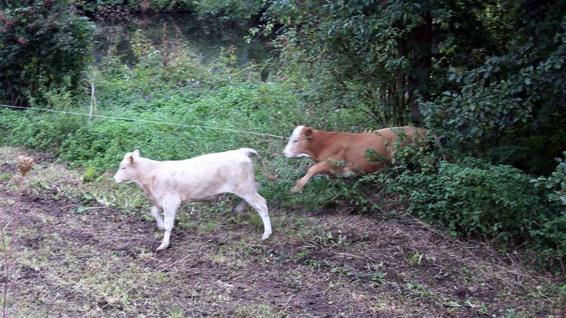 Entlaufene Rinder in Miltenberg weiterhin verschwunden