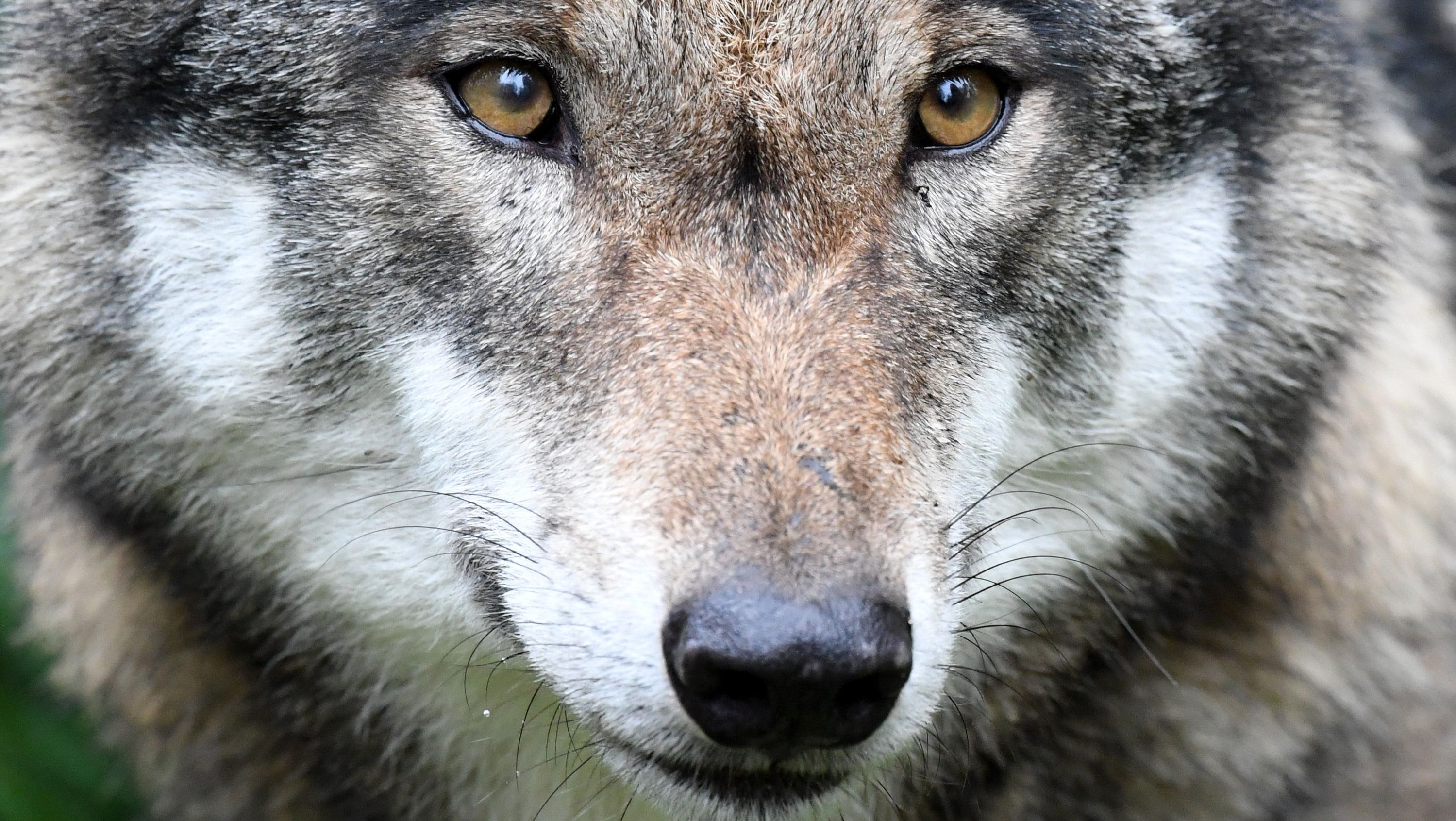Symbolbild Wolf