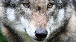Symbolbild Wolf | Bild:dpa-Bildfunk
