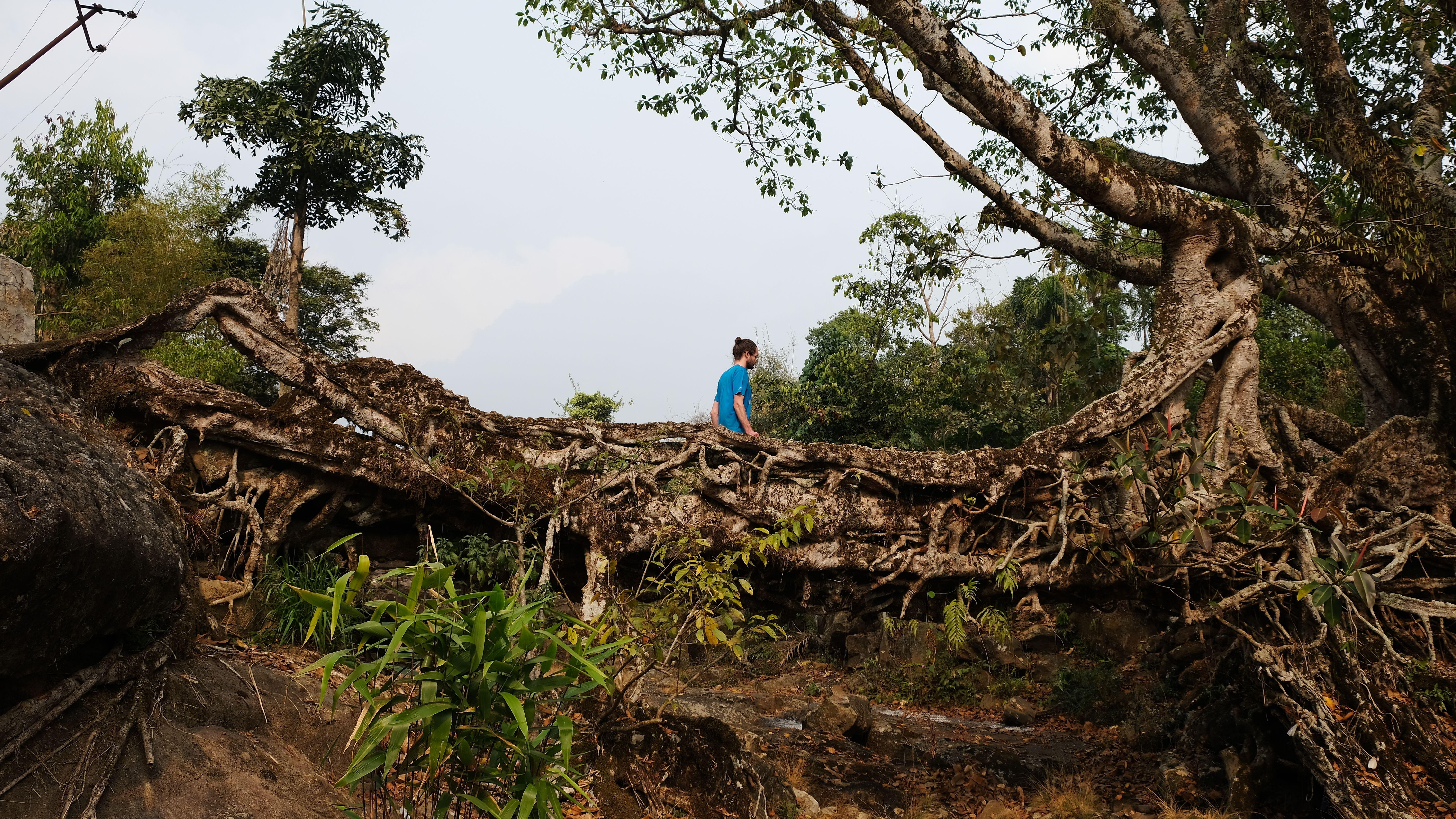 Meghalaya-Brücke in Indien: Brücken aus den verschlungenen Luftwurzeln des Gummibaums Ficus elastica sind mechanisch äußerst stabil.