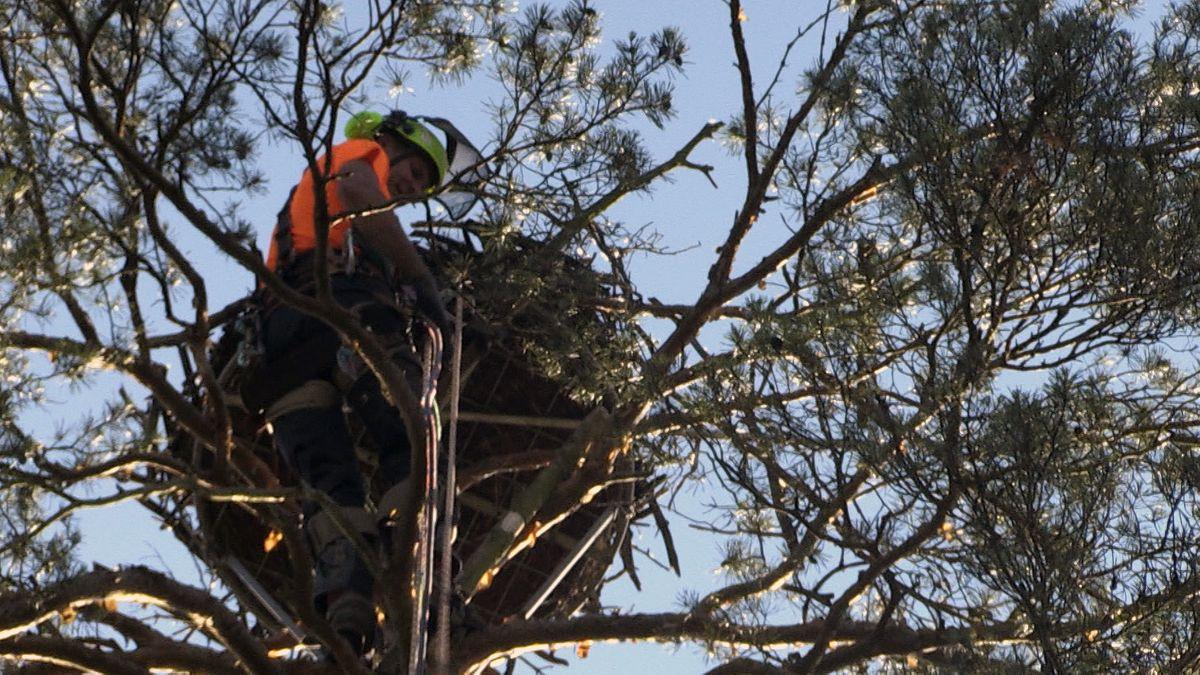 Die jungen Vögel werden beringt, damit sie wieder identifiziert werden können. Kletterer holen die Jungen zum Beringen jeweils aus dem Nest.