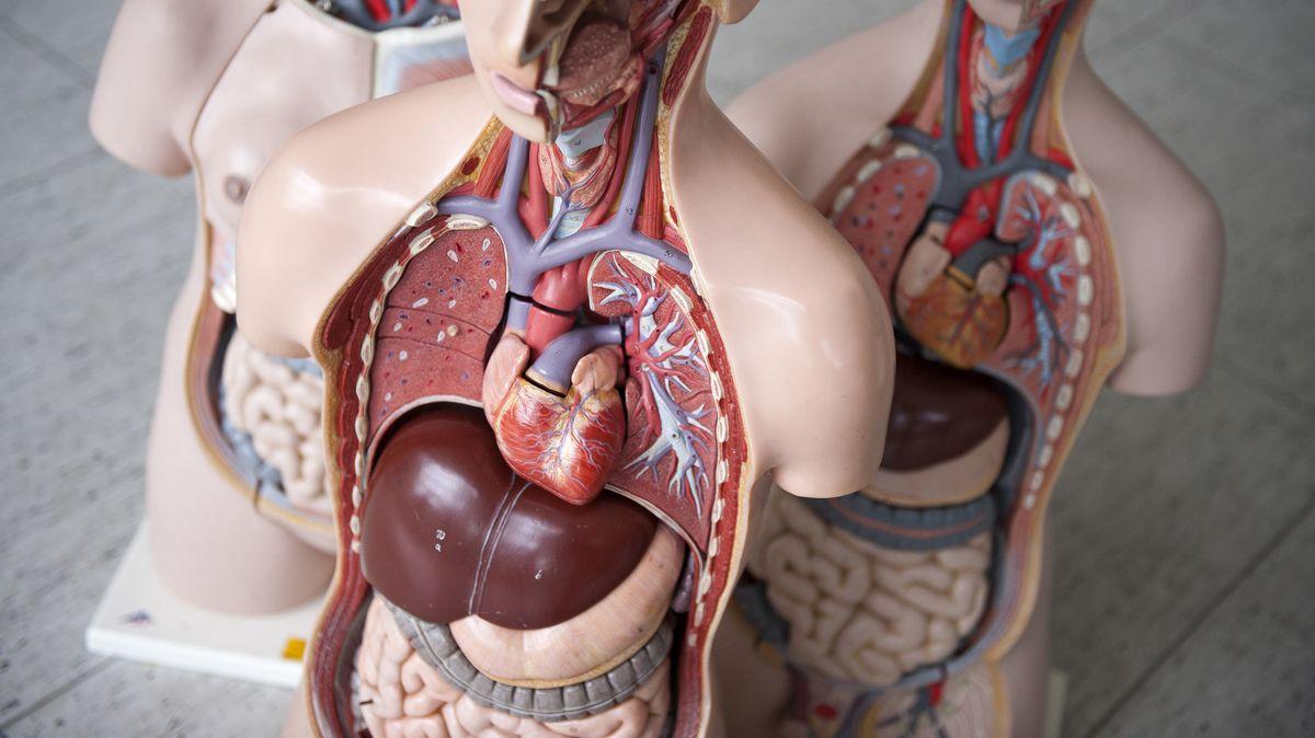 Das Anatomische Modell eines Menschen aus Plastik - der Brustkorb ist geöffnet und gibt den Blick frei auf die Organe.