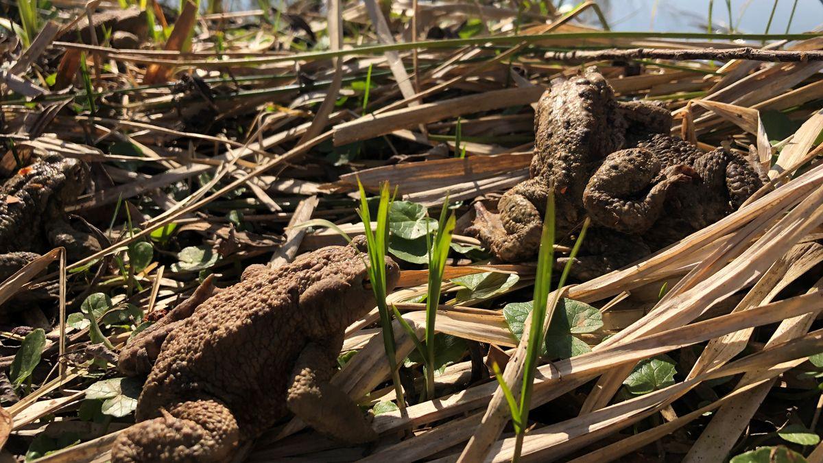 Im Frühling gehen die Kröten auf Wanderschaft - und das kann für die Amphibien auf den Straßen sehr gefährlich werden.