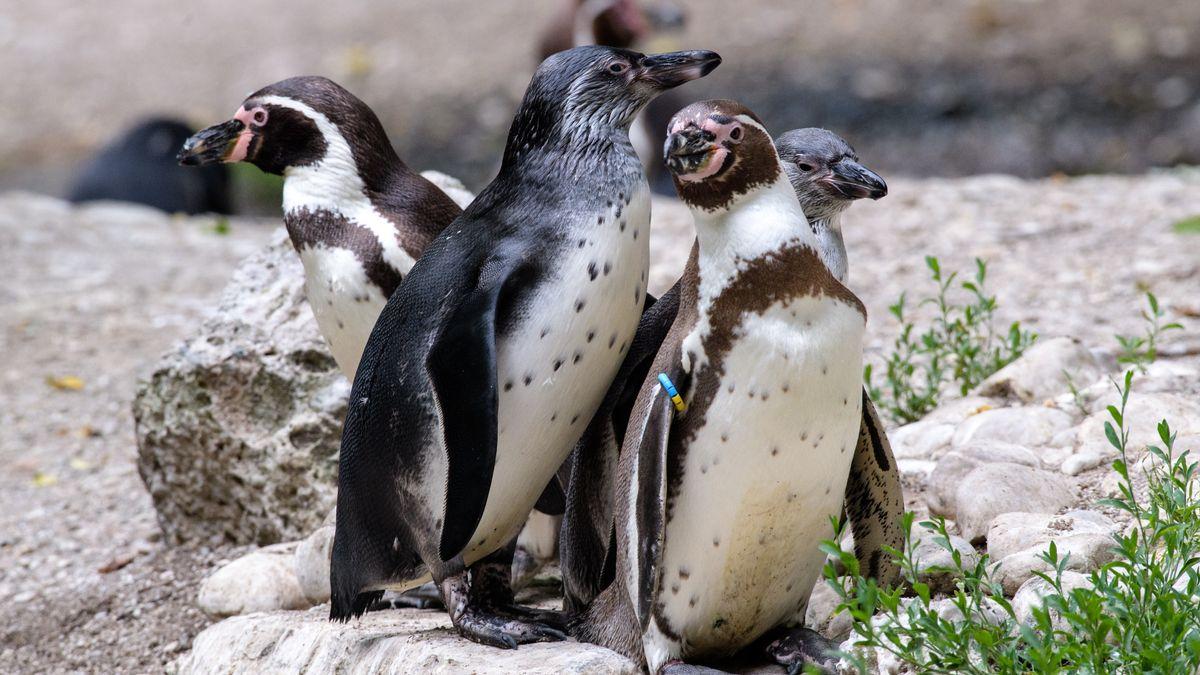 Humboldt-Pinguinfamilie im Tierpark Hellabrunn in München