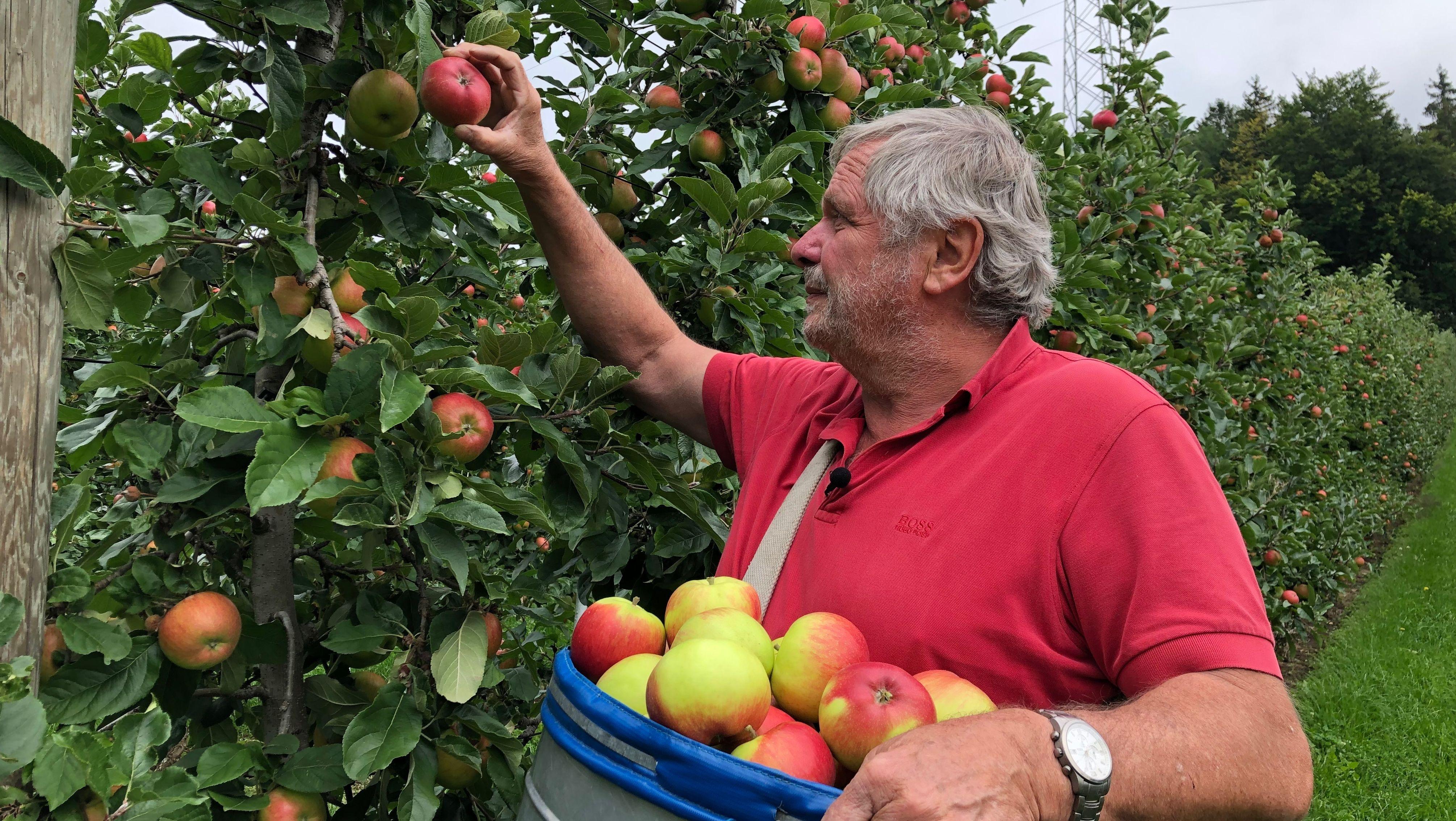 Am Bodensee beginnt die Apfelernte
