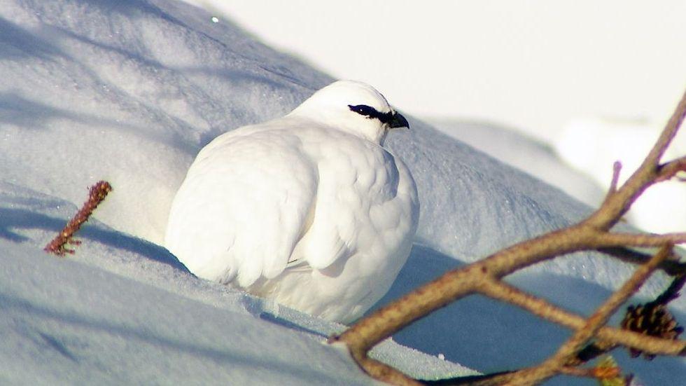 Klimawandel: Stirbt die Vogelwelt der Hochalpen aus?