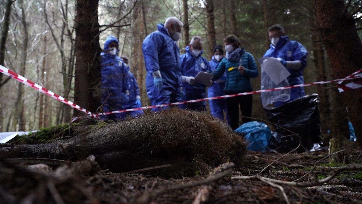 Jäger in blauen Schutzanzügen bergen im Wald ein totes Wildschwein