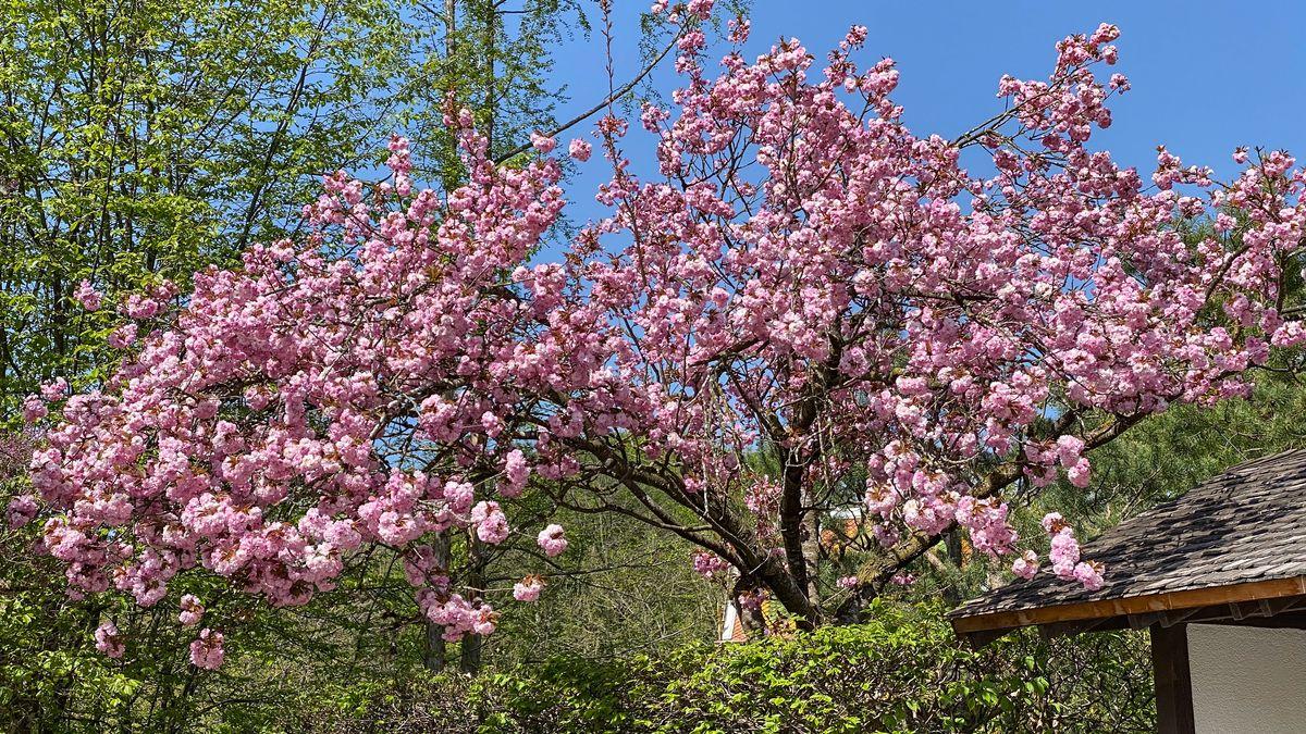 In voller Blüte steht ein japanischer Kirschbaum neben einem Haus - im Hintergrund frisches Grün.