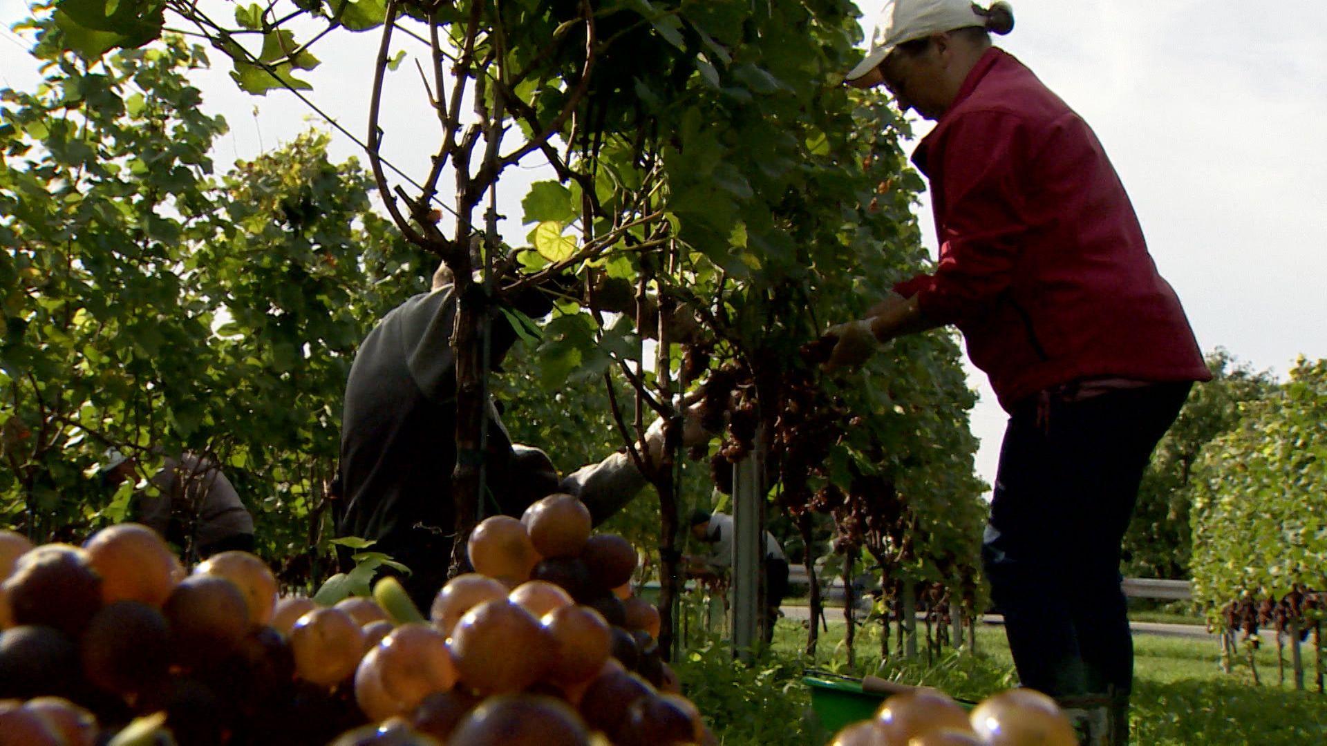 Erntehelfer bei der Weinlese