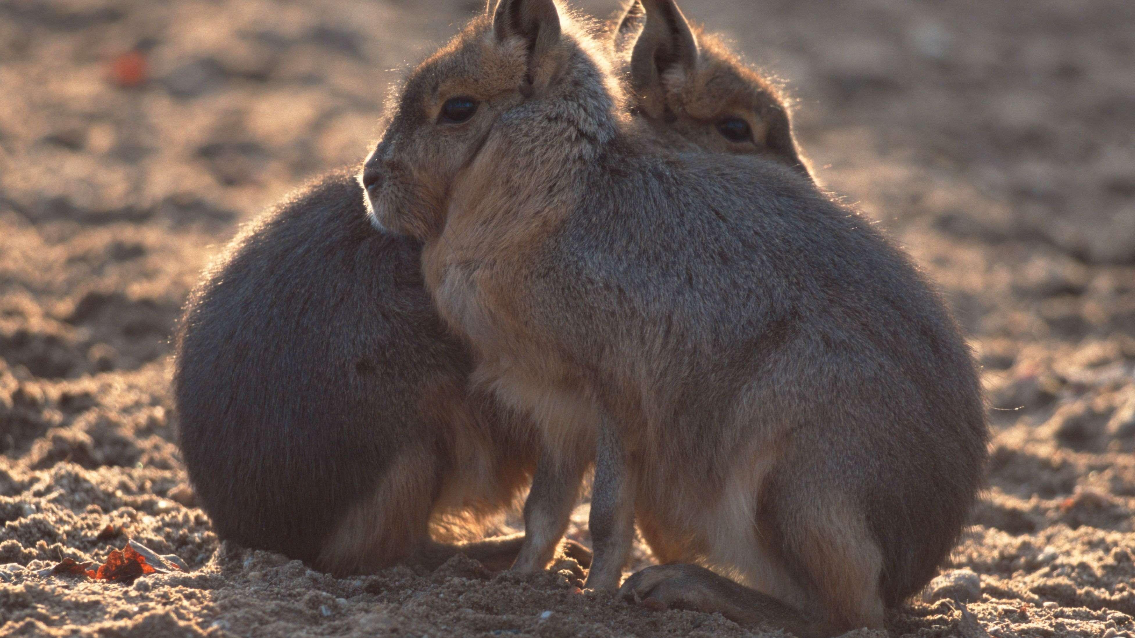 Große Pampashasen (auch: Große Maras) ruhen gerne mal im Sitzen.