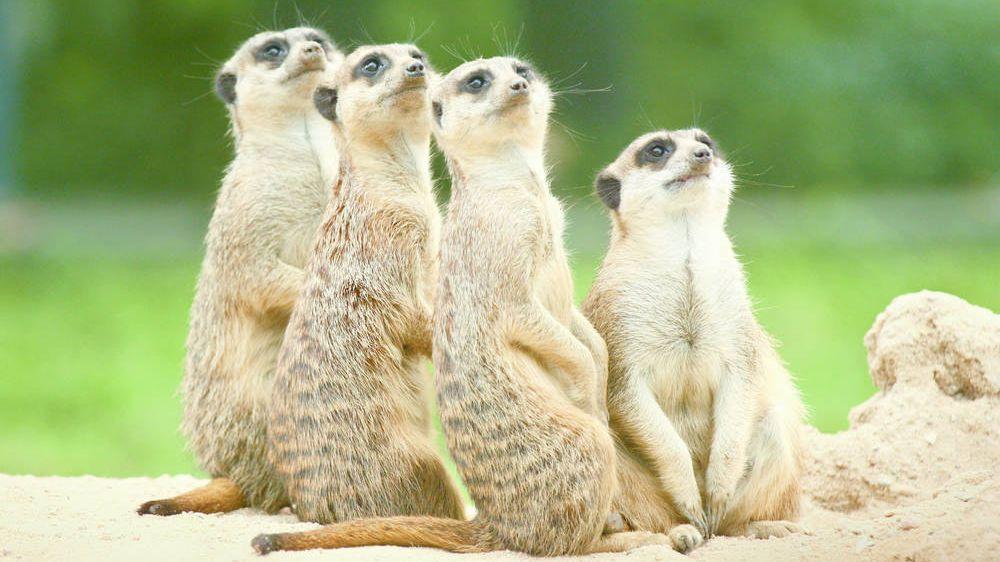 Die vier Erdmännchen des Münchner Tierparks Hellabrunn