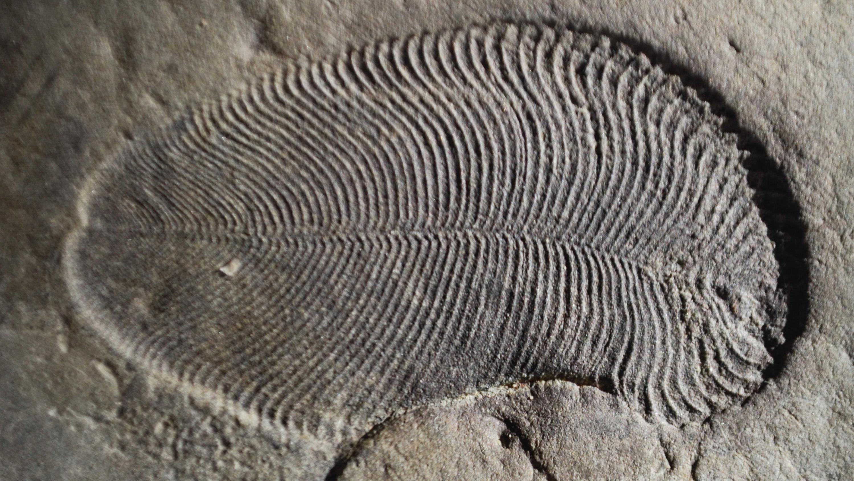 Fossil von Urzeit-Lebewesen Dickinsonia