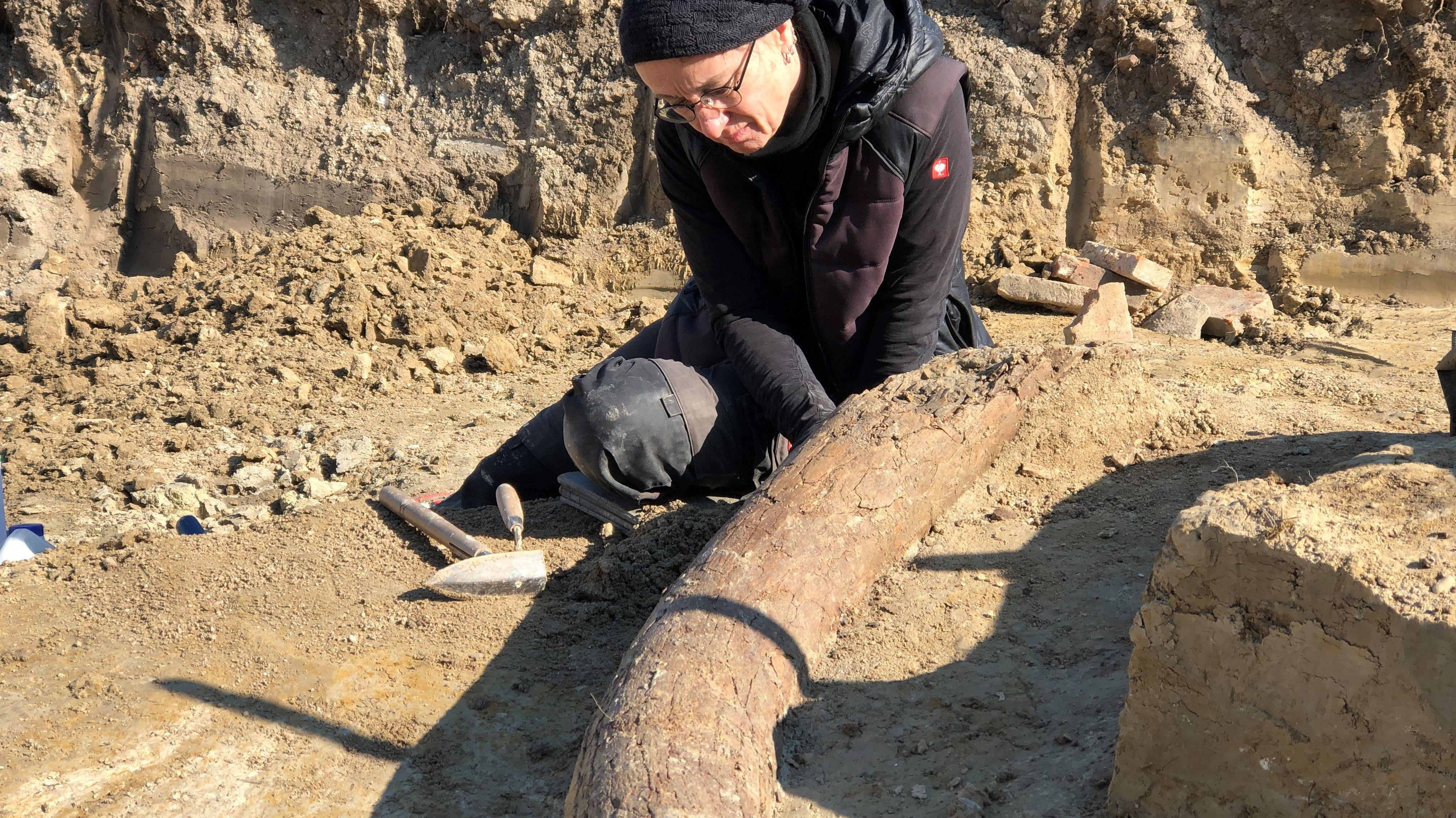 Mit größter Sorgfalt haben die Archäologen den Zahn freigelegt. Er ist sehr bröselig.