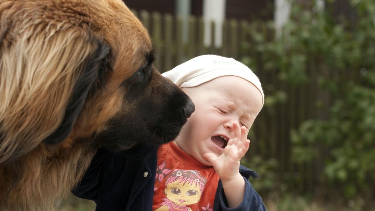 Leonberger schleckt Kleinkind ab