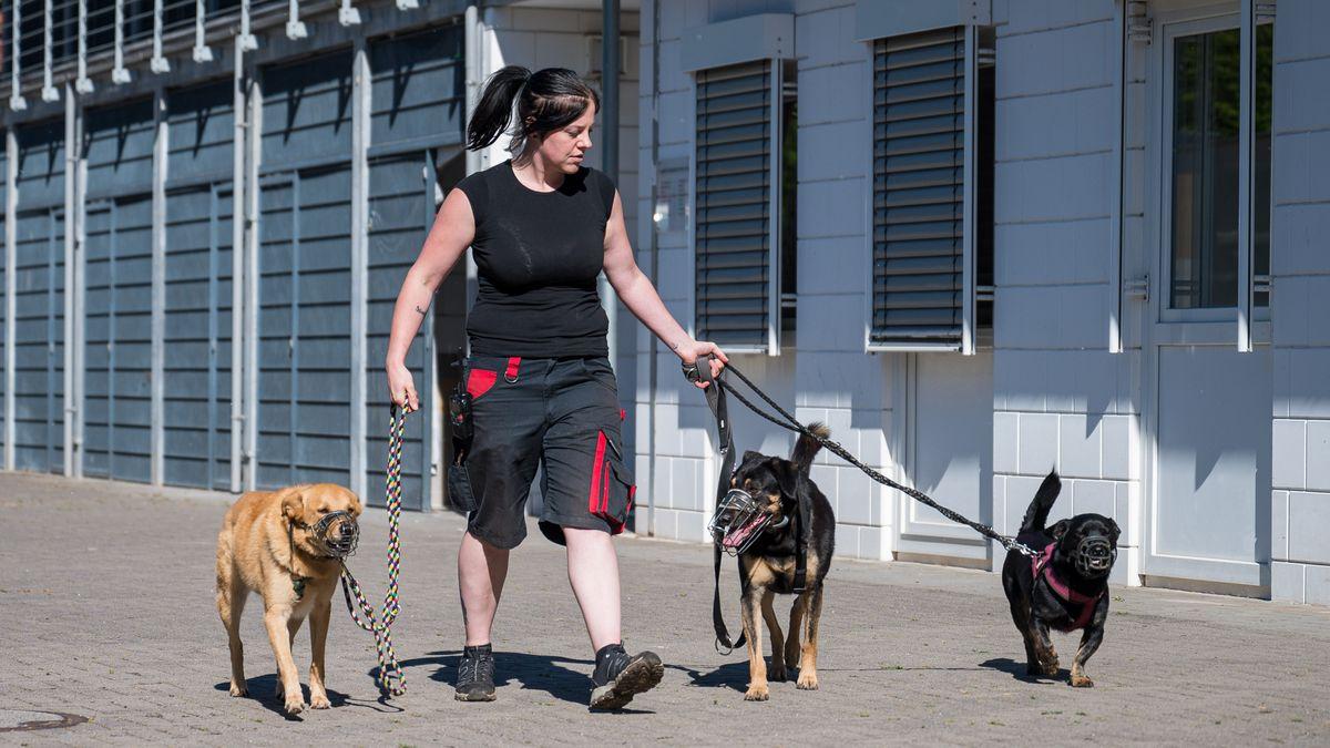 Drei Hunde werden von einer Frau ausgeführt