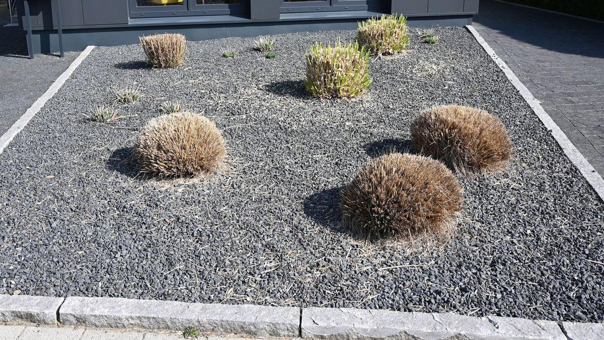 Pflanzen ragen aus einem Vorgarten mit grauen und schwarzen Kieselsteinen. In einigen Städten will man gegen die umstrittenen Schotter- und Steingärten vorgehen.