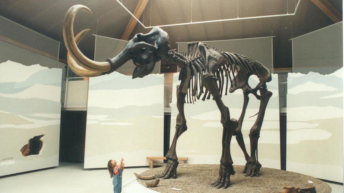 Ein echtes Mammutskelett steht im Naturkundemuseum.
