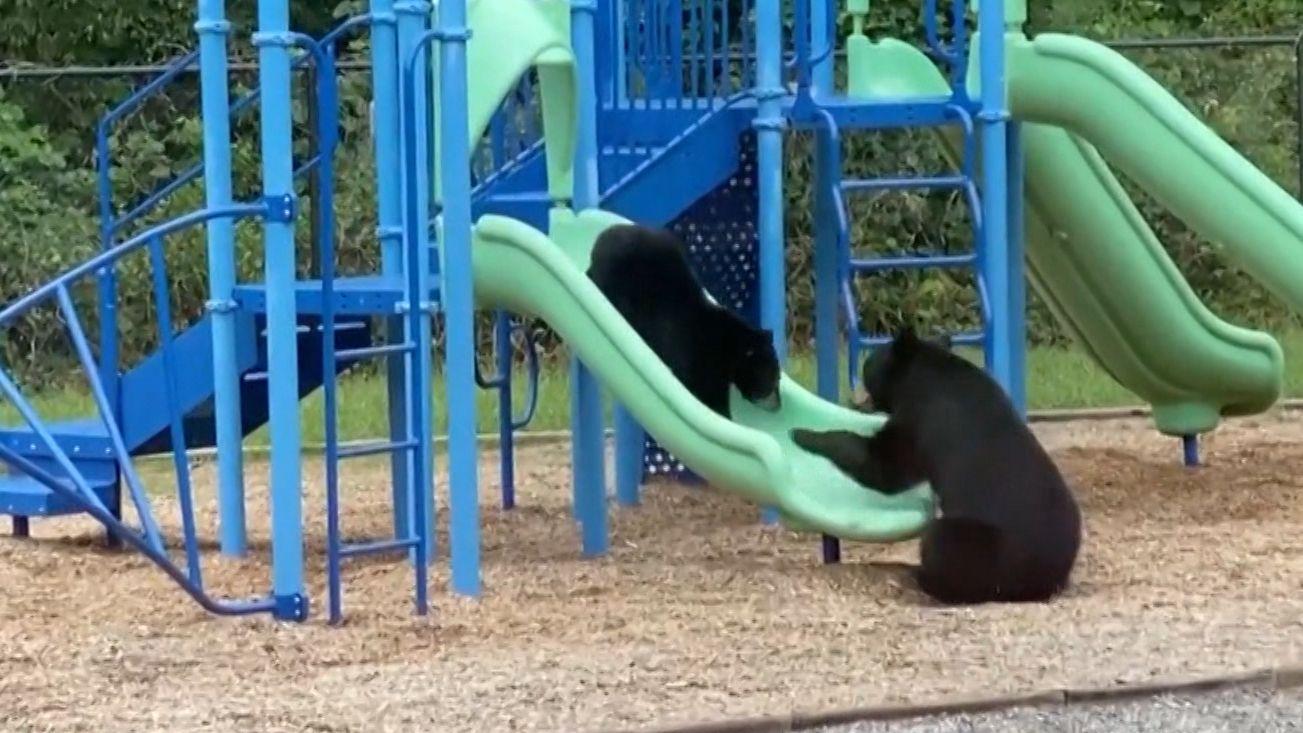 Bären auf dem Spielplatz: Das Jungtier rutscht auf der Rutsche.