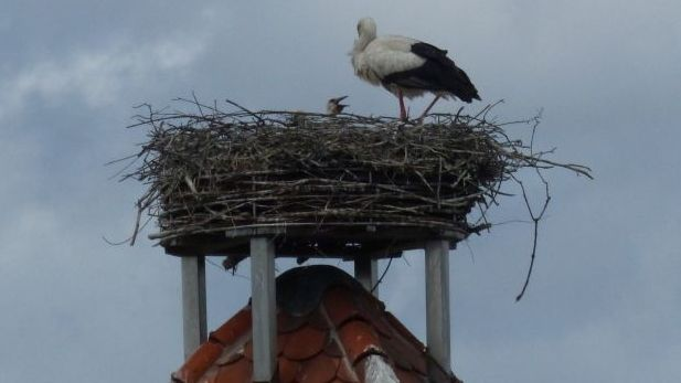 Der Storchen-Nachwuchs in Straubing