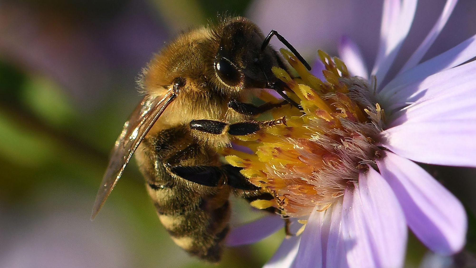 Eine Biene saugt Nektar aus einer bluehenden Herbstaster