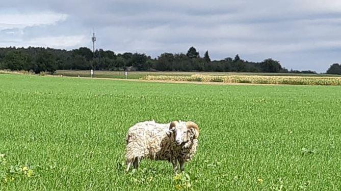 Ausgebüxtes Schaf bei Steinbach
