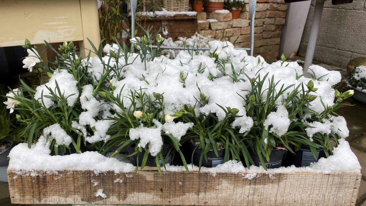 Der Wintereinbruch macht frisch gepflanzte Balkonblumen zunichte.
