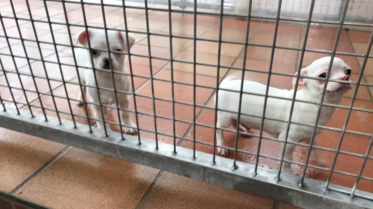 Hunde aus dem illegalen Welpenhandel werden jetzt im Augsburger Tierheim versorgt.