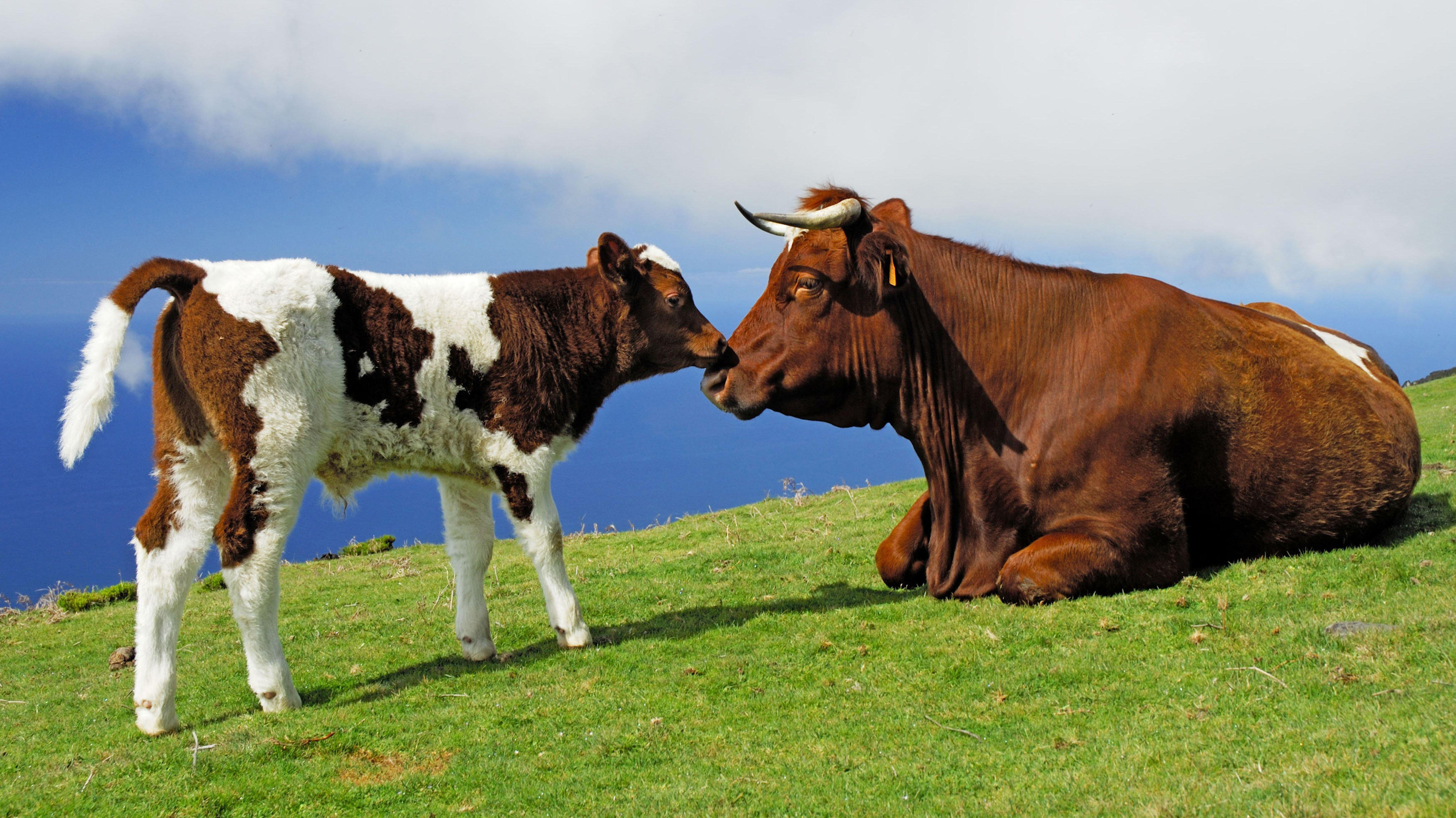 Kuh sonnt sich mit Kalb auf Wiese