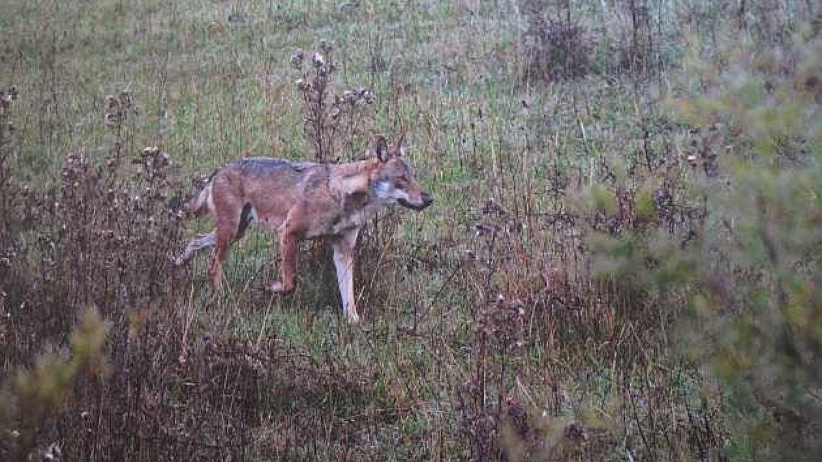 Wolf läuft über Wiese
