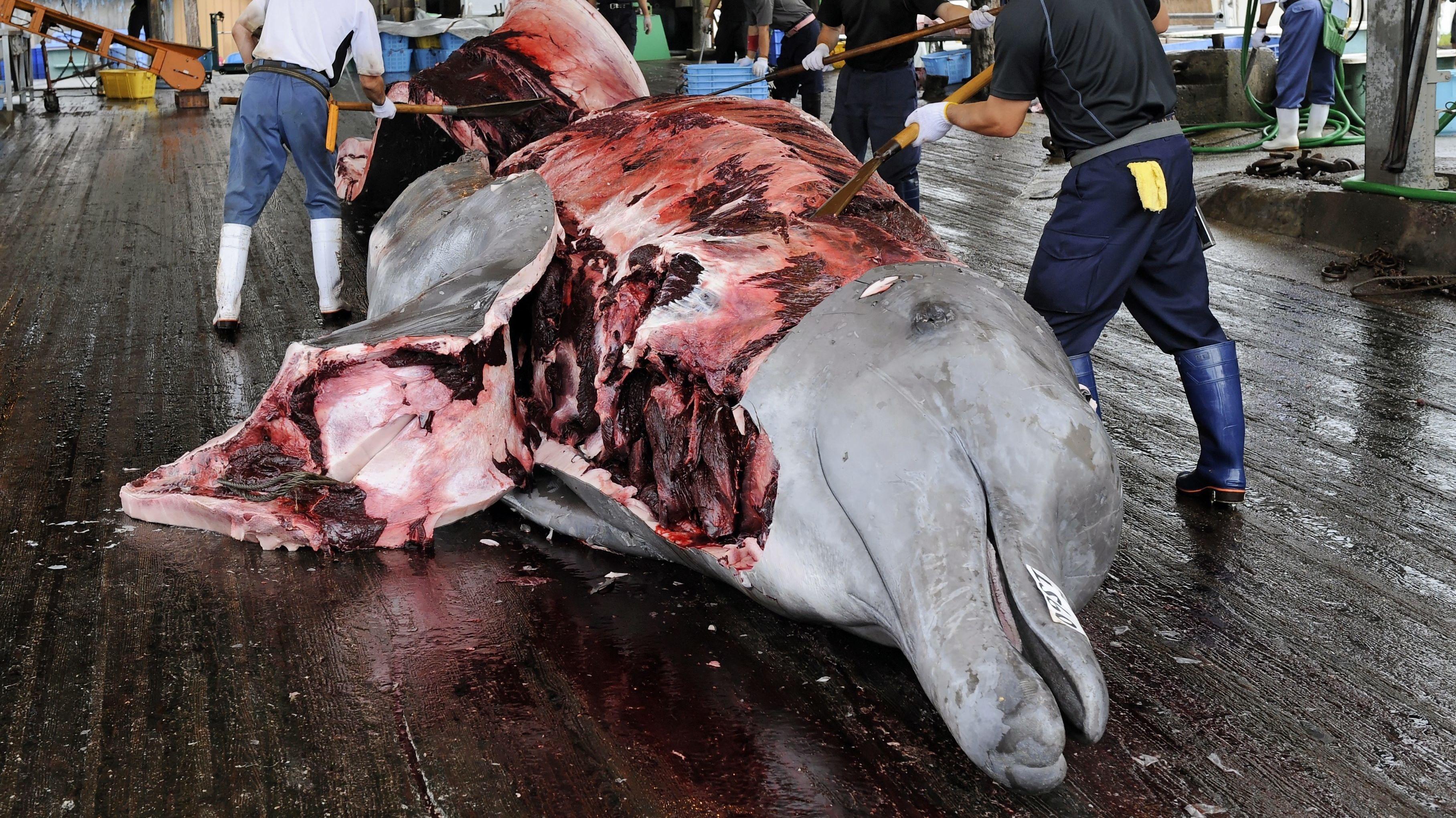 Ein Baird-Schnabelwal wird in Japan aufgeschnitten und zerlegt