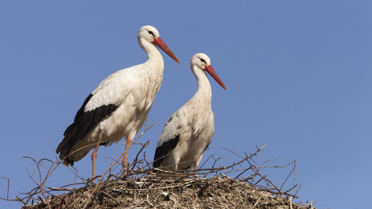 Weißstörche stehen auf Nest.