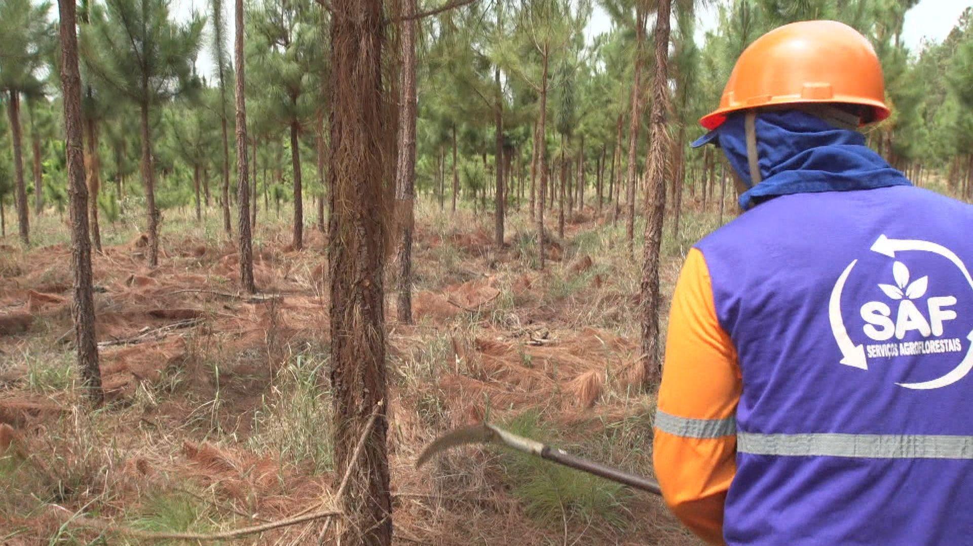 Pflege des Kiefernwaldes in Prata, Brasilien