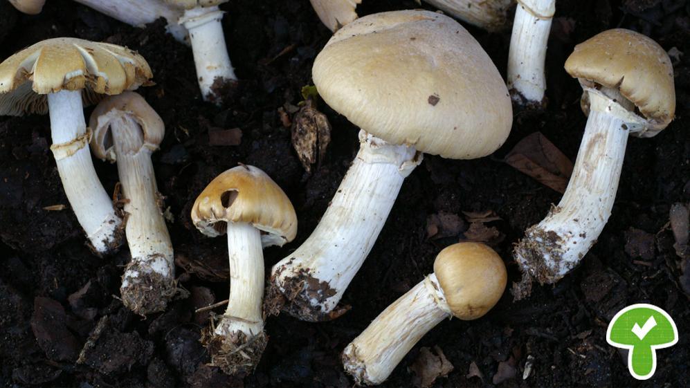 Der Pilz hat einen semmelgelben, runzeligen, bereiften Hut. Die Blätter sind hellocker bis rostgelb, gesägt, der Stiel mit häutigem Ring. Stark gefährdet. Der Pilz ist nur etwas für Experten. Es gibt sehr viele, für Anfänger schwer unterscheidbare, teils stark giftige Arten!