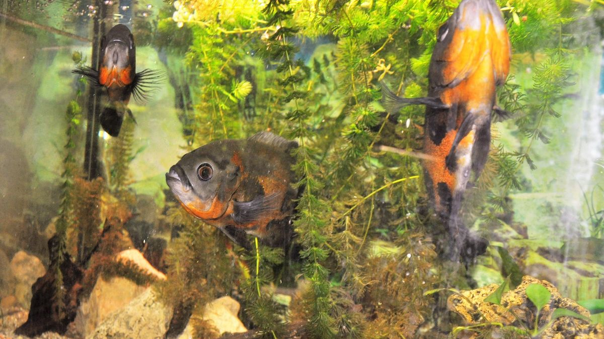 Pfauenaugenbuntbarsche im Aquarium von Horst Schmidt