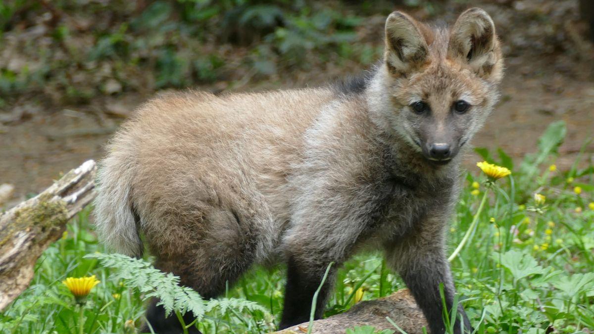 """Mähnenwolf """"Nardi"""""""
