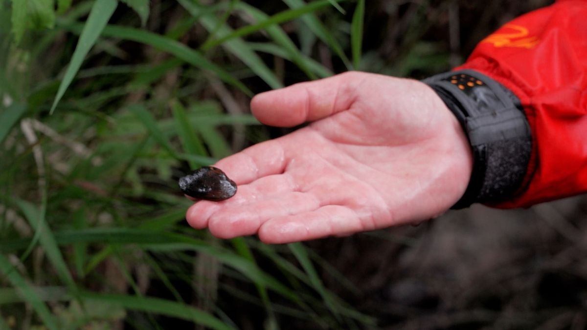 Ein Mann hält eine Flussperlmuschel in der Hand.