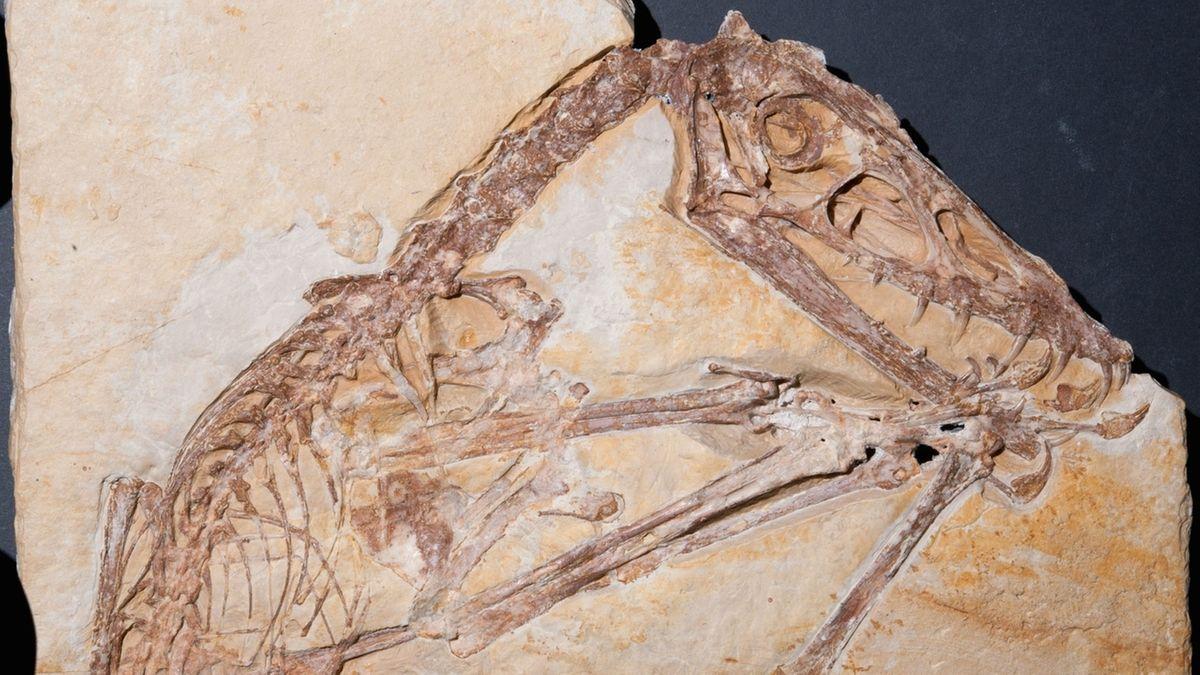 Fossil des Jahres 2021: Flugsaurier Scaphognathus crassirostris