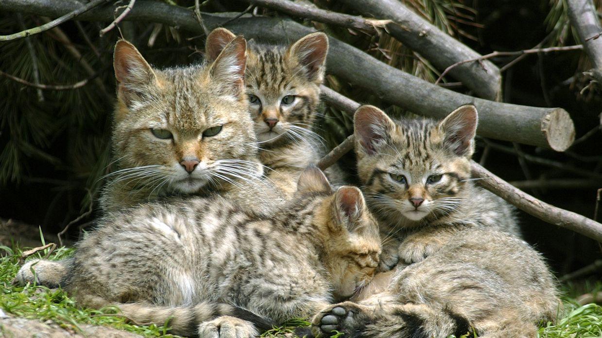 Wildtiere in Bayern:: Wildkatzen-Familie