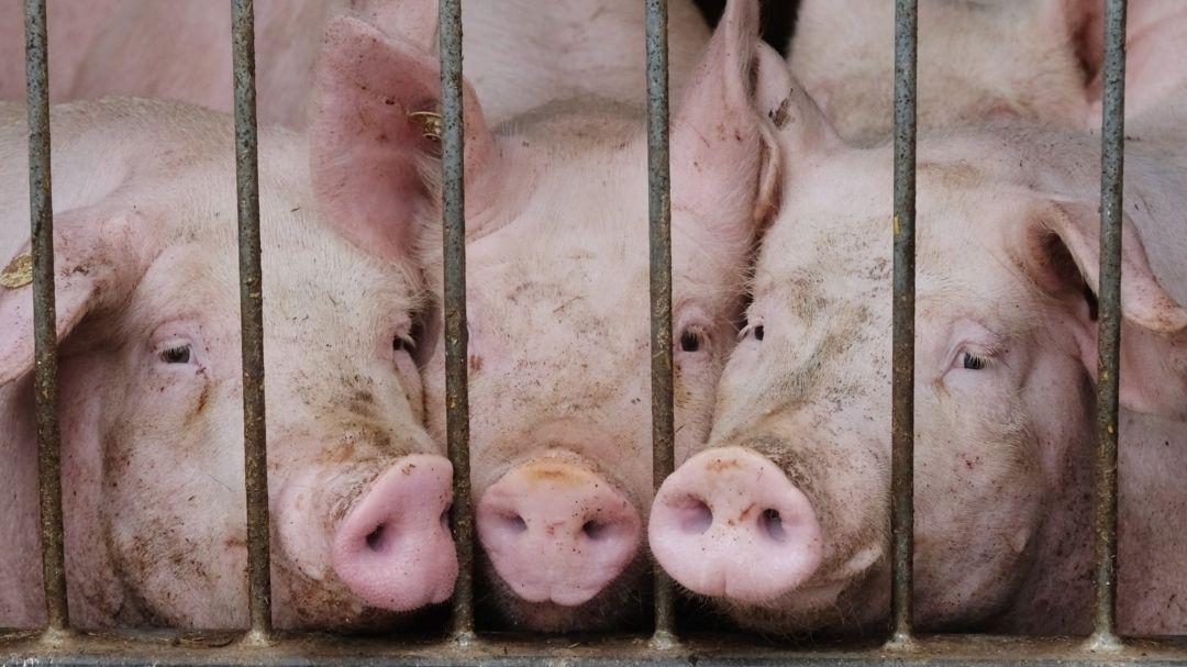 Hausschweine in einem Stall eines Agrarbetriebes