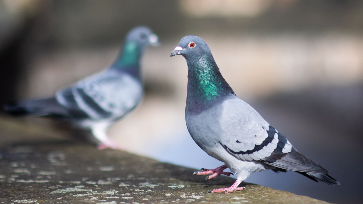 Zwei Tauben auf einer Mauer