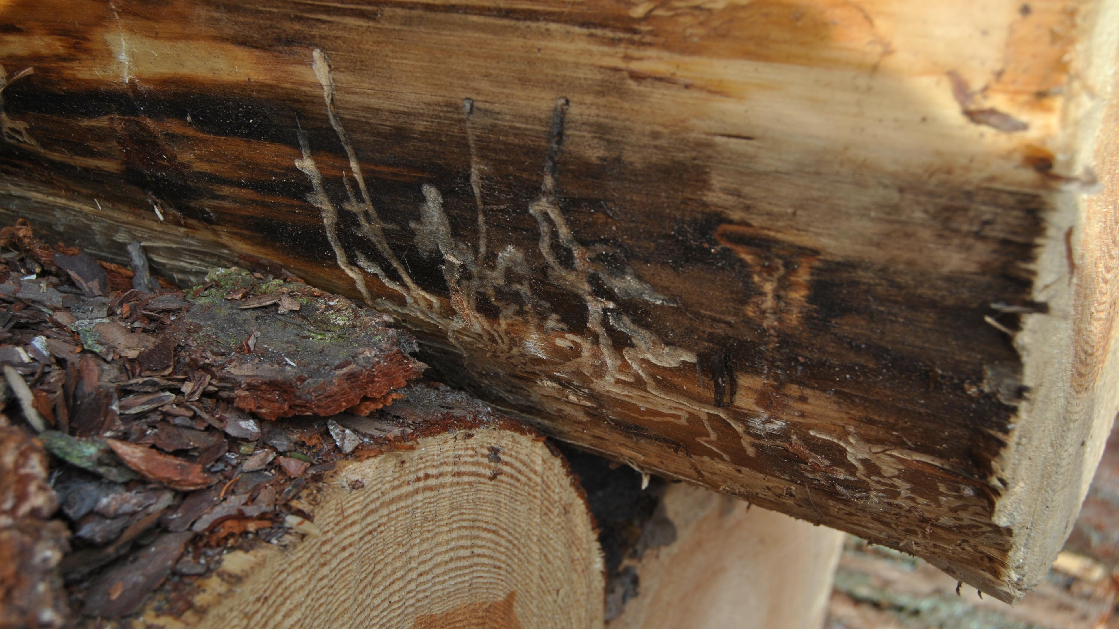 Fraßgänge von Schädlingen in einem Baumstamm