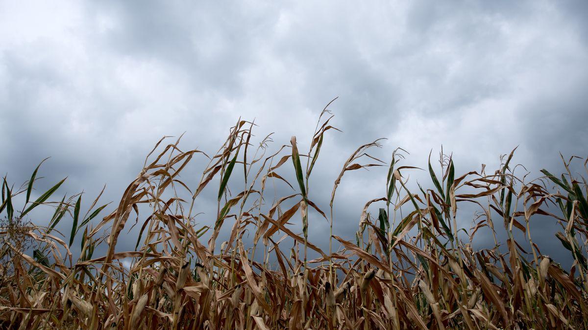 Dunkle Wolken ziehen im Jahr 2018 über ein Feld mit vertrockneten Maispflanzen bei Wolnzach