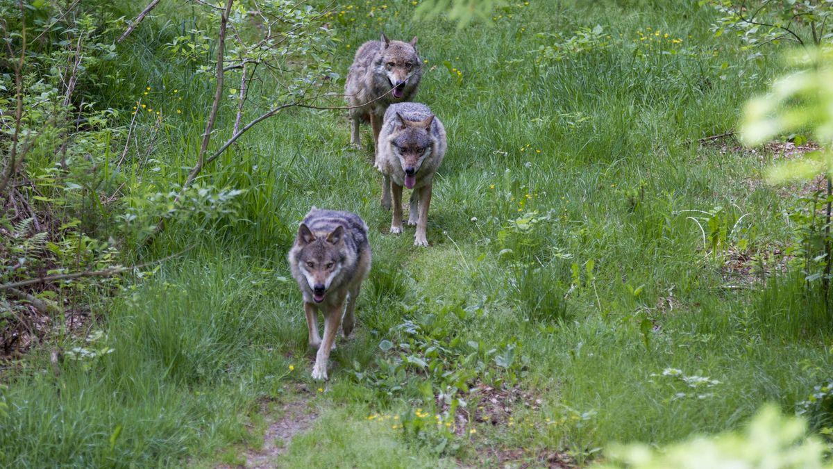 Wölfe im Nationalpark